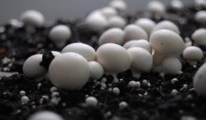 gomba termesztés